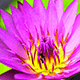 6 Reasons To Use Pink Lotus Absolute Oil