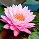 6 Must-Know Facts About Pink Lotus Absolute Oil